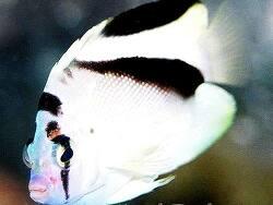 Apolemichthys griffisi thumbnail