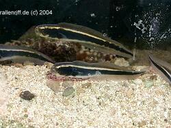 Pholidichthys leucotaenia thumbnail