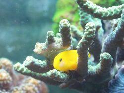 Gobiodon okinawae thumbnail
