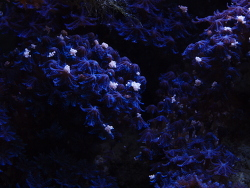 Laichvorgang blaue Xenie thumbnail