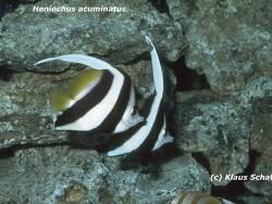 Heniochus acuminatus thumbnail