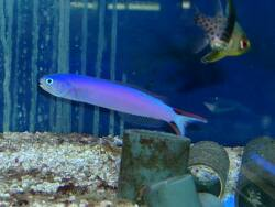 Hoplolatilus purpureus thumbnail