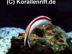 Hoplolatilus marcosi thumbnail