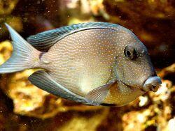Ctenochaetus marginatus thumbnail