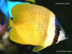 Chaetodon kleinii thumbnail