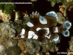 Plectorhinchus chaetodonoides thumbnail