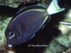Acanthurus nigricans thumbnail