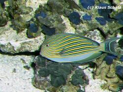 Acanthurus lineatus thumbnail