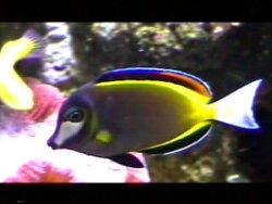 Acanthurus japonicus thumbnail