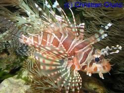 Dendrochirus zebra thumbnail