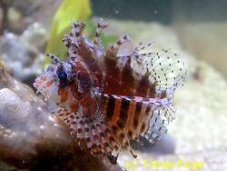 Dendrochirus brachypterus thumbnail