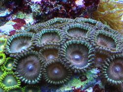 Zoanthus sp. 28 thumbnail