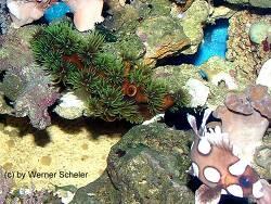 Tubastraea micranthus thumbnail