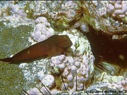 Ophioblennius atlanticus thumbnail