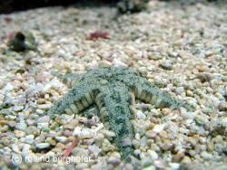 Archaster angulatus thumbnail
