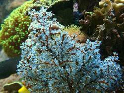 Acalycigorgia sp. thumbnail