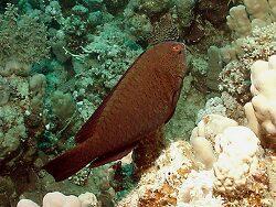 Calotomus viridescens thumbnail