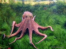Octopus vulgaris thumbnail
