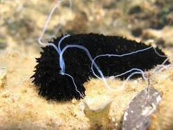 Holothuria (Panningothuria) forskali thumbnail
