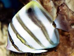 Parachaetodon ocellatus thumbnail