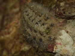 Acanthochitona pygmaea thumbnail