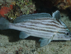 Pareques acuminatus cluck cubbyu donkey fish high hat for High hat fish