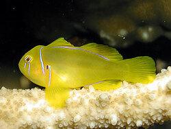 Gobiodon citrinus thumbnail