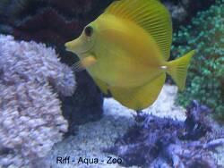 Zebrasoma scopas thumbnail