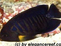 Centropyge flavipectoralis thumbnail