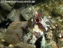Hypsoblennius exstochilus thumbnail