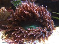 Phymanthus buitendijki thumbnail