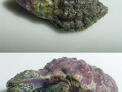Drupella margariticola thumbnail