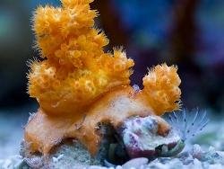 Scleronephthya gracillimum thumbnail