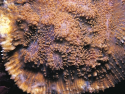 Acanthastrea rotundoflora thumbnail