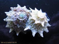 Lithopoma phoebium thumbnail
