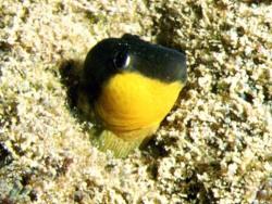 Microlipophrys canevae thumbnail