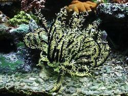Oxycomanthus spec. 01 thumbnail