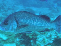 Plectorhinchus nigrus thumbnail