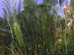 Caulerpa taxifolia thumbnail