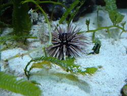 Echinometra mathaei thumbnail