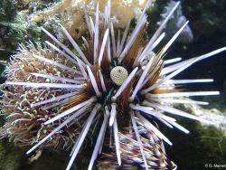 Echinothrix calamaris thumbnail