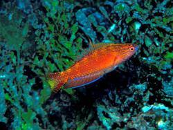 Paracheilinus bellae thumbnail