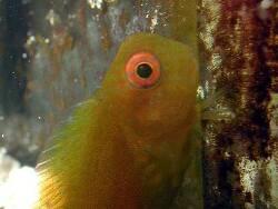 Atrosalarias fuscus thumbnail
