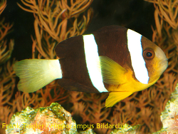 Amphiprion clarkii thumbnail