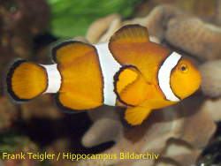 Amphiprion ocellaris thumbnail