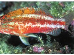 Serranus pulcher thumbnail