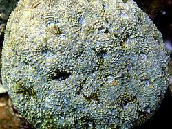 Acanthastrea echinata thumbnail