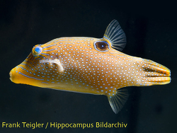 Canthigaster papua thumbnail