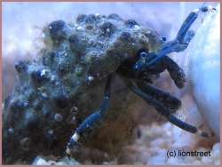 Clibanarius virescens thumbnail
