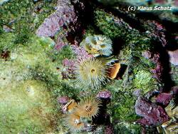 Spirobranchus giganteus thumbnail